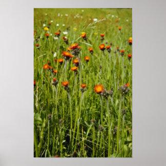 Orange Orange Hawkweed (Hieracium Aurantiacum) flo Print
