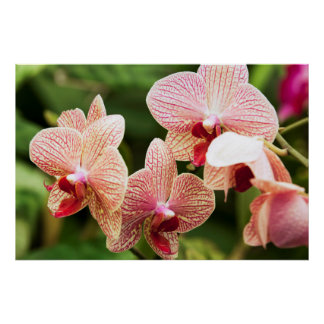 Orange Orchid Hybrid, South Africa Poster