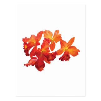 Orange Orchids Postcard
