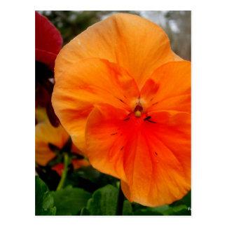 Orange Pansy Postcard
