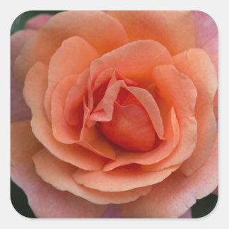 Orange Pinwheel Rose Square Sticker