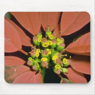 Orange Poinsettia (Euphorbia pulcherrima) flowers Mouse Pad