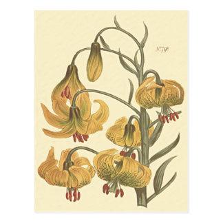 Orange Pompone Lily Botanical Illustration Postcard