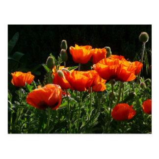 Orange Poppies Postcard