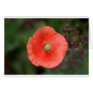 Orange Poppy flower in bloom Card