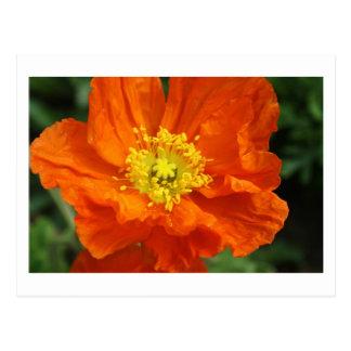 Orange Poppy Flower Postcards