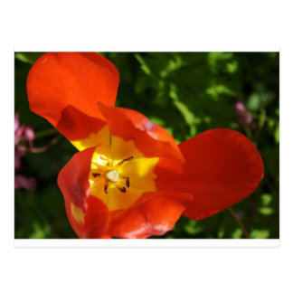 Orange poppy postcard