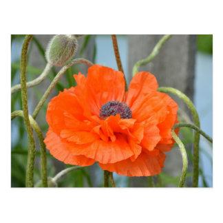 Orange Poppy Postcard