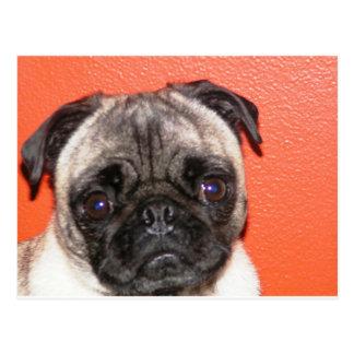 Orange Pug Postcard
