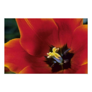 Orange 'Queen of Sheba', lily flowered tulips flow Poster