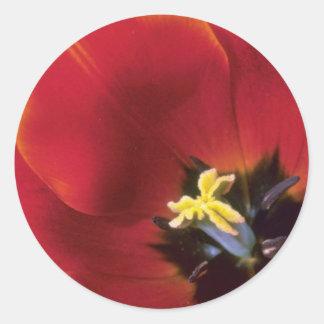 Orange 'Queen of Sheba', lily flowered tulips flow Sticker