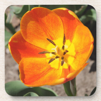 Orange Red and Yellow Tulip in Spring Beverage Coaster