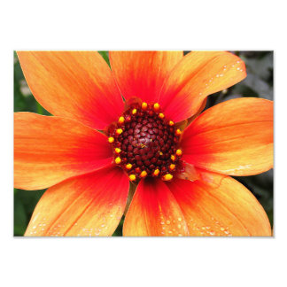 Orange Red Dahlia 14x10 Photo Print
