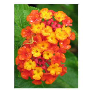 Orange-Red Lantana Postcard