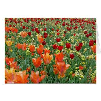 Orange & Red Tulips Cards