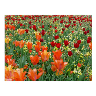 Orange & Red Tulips Postcard