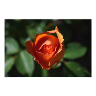 Orange Rose Blossom Print Photograph