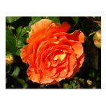 Orange Rose I Pretty Floral Postcard