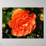 Orange Rose I Pretty Floral Poster