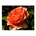 Orange Rose II Pretty Floral Postcard