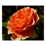 Orange Rose II Pretty Floral Poster