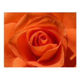 Orange Rose Photo Postcard