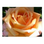 orange rose post cards