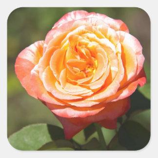 Orange Rose with Pink Edges Square Sticker