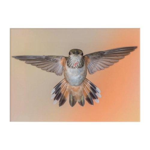 Orange Rufous Hummingbird with Wings Open Acrylic Print