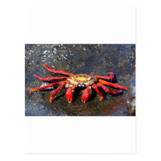 Orange sally lightfoot crab postcard