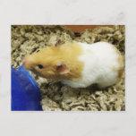 Orange Shelter Hamster Postcards