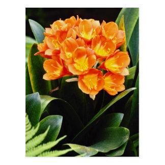 Orange Spring clivia miniata Kafir Lilly flowers Postcard
