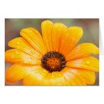 Orange Spring Flash African Daisy Close Up Photo Cards