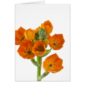 Orange Star of Bethlehem Blank Card