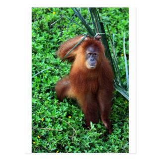 Orange Sumatran orangutan Postcard