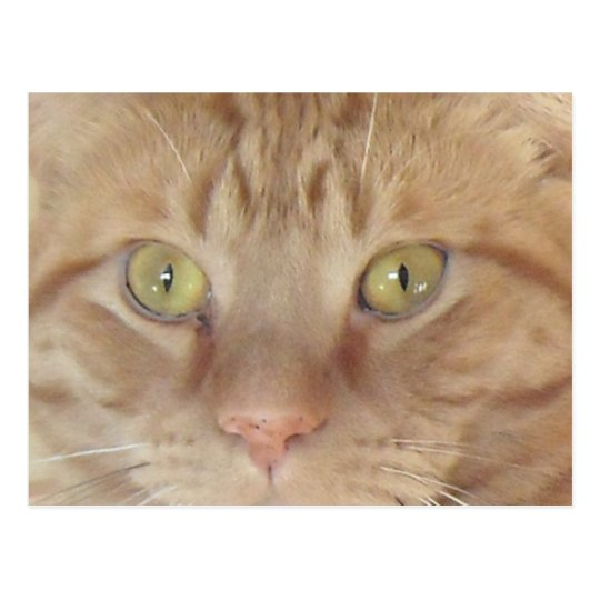 Orange Tabby Cat Postcard