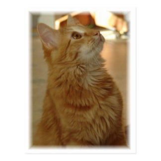 Orange Tabby Citten Postcard