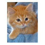 Orange Tabby Kitten Postcards
