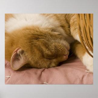 Orange tabby sleeping posters