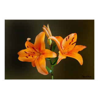 Orange Tiger Lillies and Buds Close Up Photograph Posters