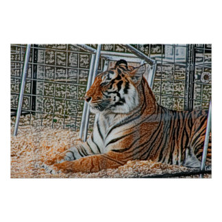 Orange tiger looking right sitting up sketch image posters