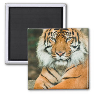 Orange Tiger Magnet Fridge Magnets
