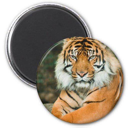 Orange Tiger Magnet Fridge Magnets