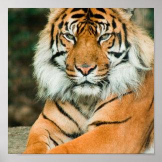 Orange Tiger Poster Print