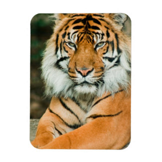 Orange Tiger Premium Magnet Rectangular Magnets