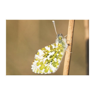 Orange-tip Butterfly Canvas Print