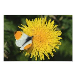 Orange Tip On Dandelion Photo Print
