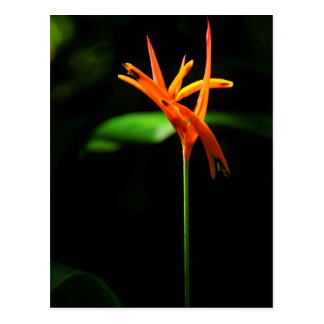 Orange tropical flowers isolated against black bac postcard