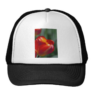 Orange Tulip Closeup Hat