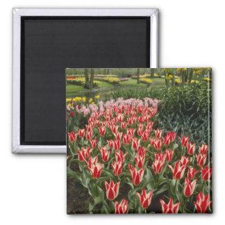 Orange Tulip Display flowers Refrigerator Magnet